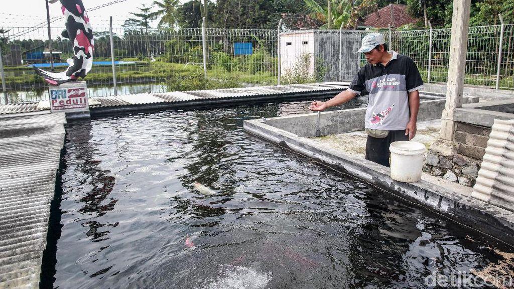 Melihat Sentra Ikan Koi yang Jadi Julukan Kota Blitar