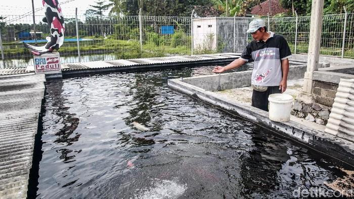 Ketua Kelompok Beringin Koi, Krisnowo memperlihatkan empang ikan koi di Desa Sumbersari, Kecamatan Sanankulon, Kabupaten Blitar Jawa Timur. Desa tersebut memang dikenal sebagai pusat budidaya ikan koi yang bagi sebagian kalangan, ikan koi dapat mendatangkan keberuntungan alias hoki.