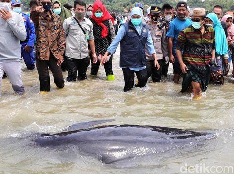 Puluhan paus terdampar di pesisir Pantai Desa Patreman, Modung, Bangkalan, Madura. Gubernur Jatim Khofifah Indar Parawansa turun langsung mengecek paus yang terdampar tersebut.