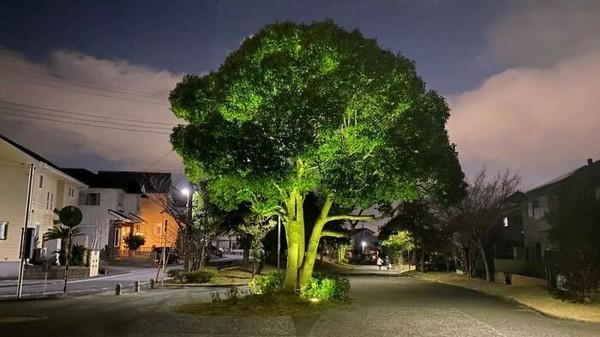 Sekilas, pohon ini mirip brokoli raksasa.