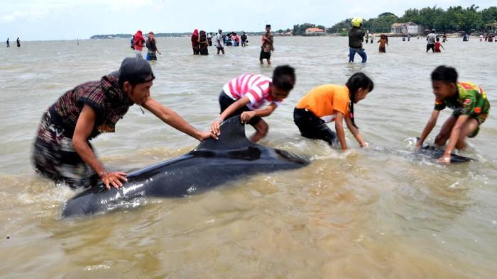 Sejumlah Paus Pilot Sirip Pendek (Globicephala macrorhynchus) terdampar di Pantai Modung, Bangkalan, Jawa Timur, Jumat (19/2/2021). Sekitar 52 ekor Paus Pilot Sirip Pendek terdampar di pantai itu, tiga diantaranya berhasil diselamatkan dan sisanya sebanyak 49 mati. ANTARA FOTO/Zabur Karuru/hp.