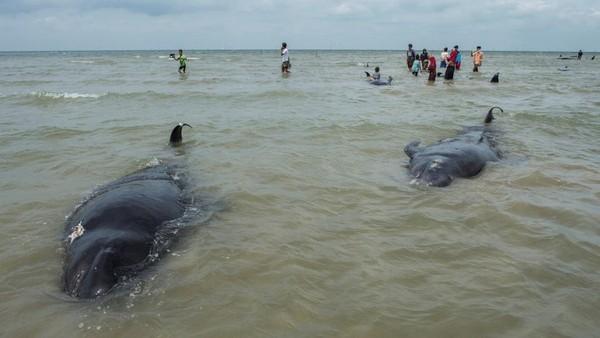 Paus-paus dengan ukuran 3 sampai 5 meter itu akan dikubur di bibir pantai saat air surut. (AFP/JUNI KRISWANTO)