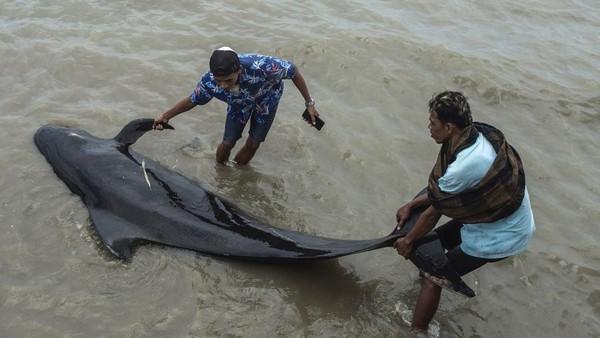 Taufiq Hermawan, kepala BMKG Maritim Kelas II Tanjung Perak menyebut habitat paus itu ada di Selat Madura. Dalam tiga hari terakhir, arus di perairan Selat Madura kencang.(AFP/JUNI KRISWANTO)
