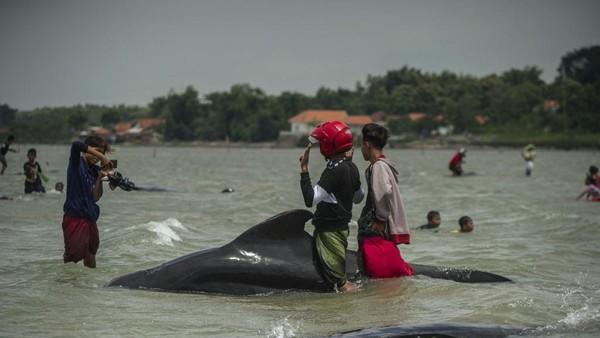 Badan Meteorologi, Klimatologi, dan Geofisika (BMKG) menduga paus-paus itu terseret arus. (AFP/JUNI KRISWANTO)