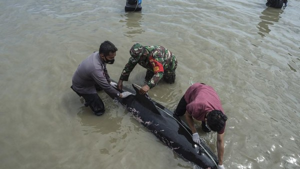 Dalam perkembangannya, terhitung sebanyak 46 ekor paus mati. Cuma tiga ekor yang hidup dan bisa kembali ke tengah laut. (AFP/JUNI KRISWANTO)