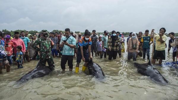 Paus-paus itu sempat dihalau oleh warga dan bisa kembali ke tengah laut. Tapi kemudian paus-puas itu kembali menuju pantai. (AFP/JUNI KRISWANTO)