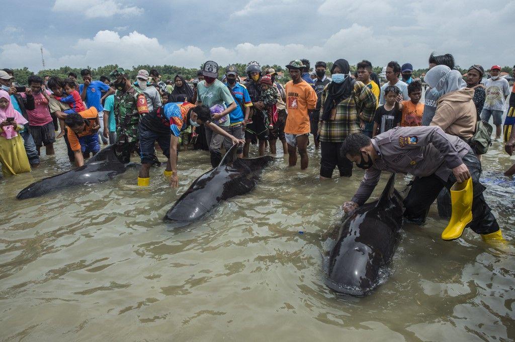 Warga berupaya untuk menyelamatkan paus ppilot di Bangkalan, Madura, Jatim pada Jumat (19/2/2021).