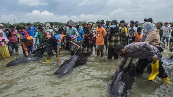 Setidaknya ada 49 ekor paus pilot sirip pendek tiba di pantai Desa Patereman, Bangkalan, Madura, Jawa Timur mulai Kamis (18/2/2021) hingga Jumat (19/2). (AFP/JUNI KRISWANTO)