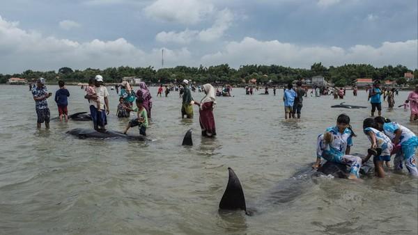 Pada tahun 2018, seekor paus sperma ditemukan mati di Indonesia dengan lebih dari 100 gelas plastik dan 25 kantong plastik di dalam perutnya, menjadi sebuah kekhawatiran tentang masalah sampah laut besar-besaran di kepulauan Asia Tenggara. (AFP/JUNI KRISWANTO)