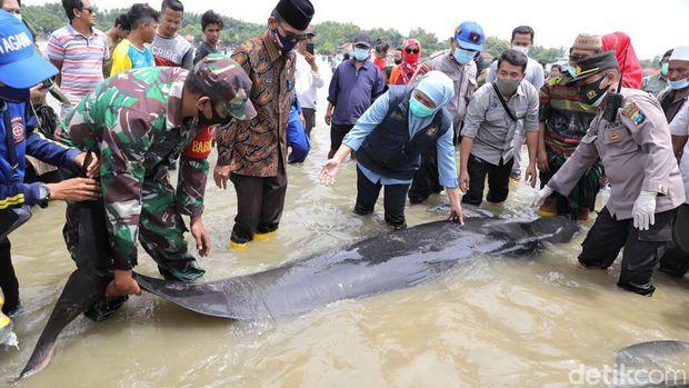 Puluhan paus terdampar di Pantai Mojung Bangkalan