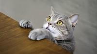 Dibajak Kucing, Pesawat Terpaksa Mendarat Darurat