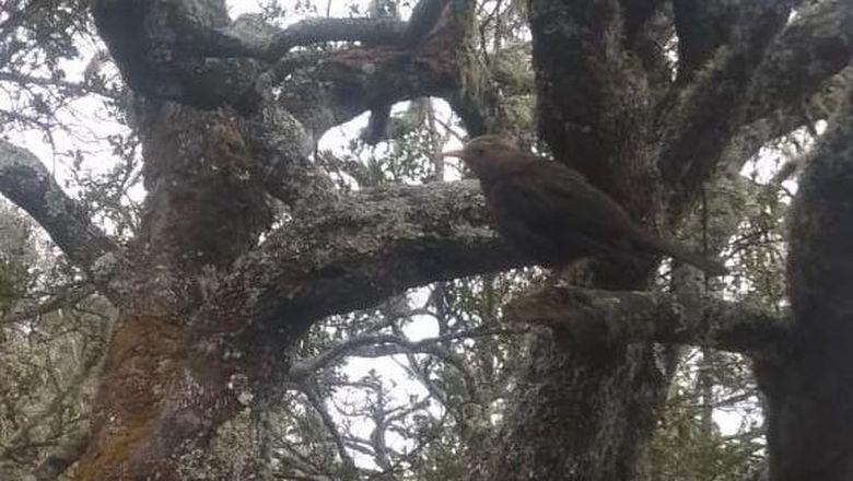 Burung jalak di Gunung Lawu.