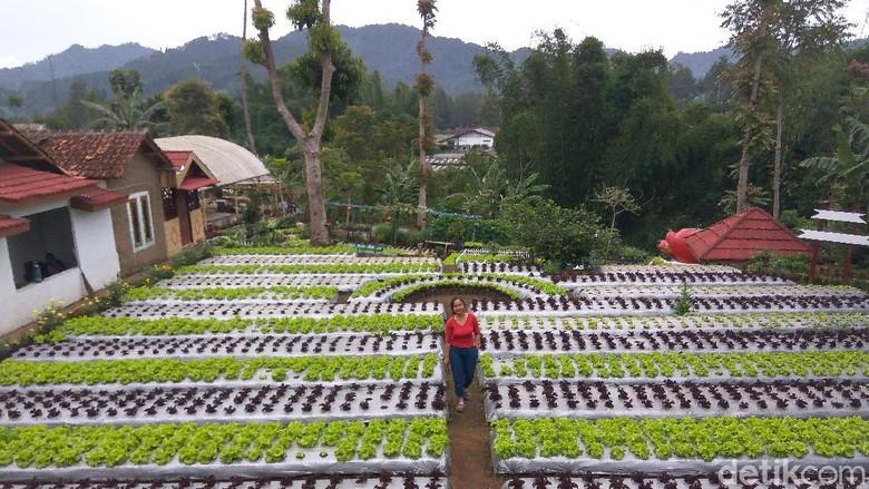 Liburan di Lembang? Cobain Yuk Wisata Berkebun Agrowisata Halimun