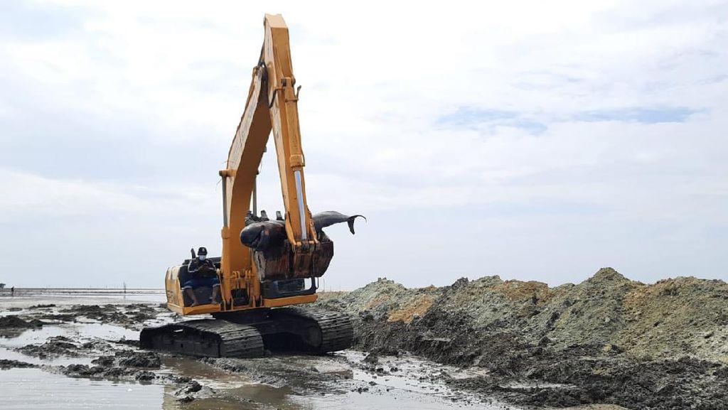 Penguburan Bangkai Paus di Pantai Bangkalan Dikebut Antisipasi Air Laut Pasang
