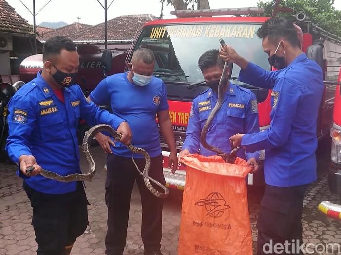 Petugas Pemadam Kebakaran (Damkar) Trenggalek mengevakuasi dua ekor ular kobra yang bersarang di lingkungan Puskemas Pogalan.