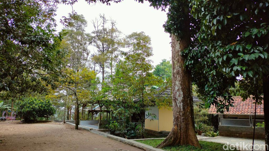 Pohon Durian Perwira di Majalengka Ini Usianya Sudah 2,5 Abad