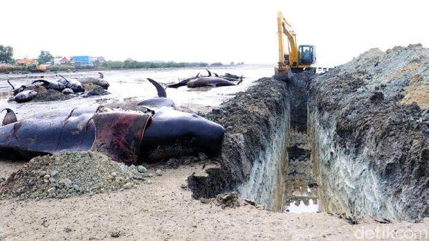 Puluhan paus yang terdampar di pantai Desa Patereman, Bangkalan dikuburkan. Proses penguburuan dipercepat karena mengantisipasi air laut pasang.