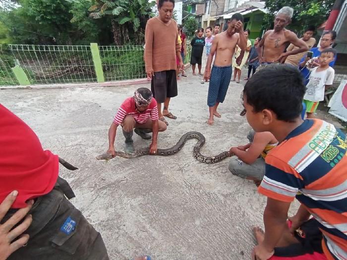 Warga Karanganyar ramai-ramai tangkap ular piton 3 meter, Sabtu (20/2/2021).