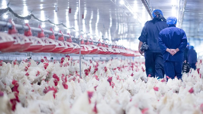Husbandry, housing business for the purpose of farming meat, White chicken Farming feed in indoor housing. Live chicken for meat and egg production inside a storage.
