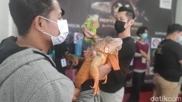 Inilah kontes reptil yang baru pertama kalinya digelar di Maros, Sulawesi Selatan. Antusiasme peserta yang ikut kontes ini sangat tinggi. Pesertanya banyak juga dari luar Sulawesi seperti Jakarta dan Bali. (Moehammad Bakrie/detikTravel)