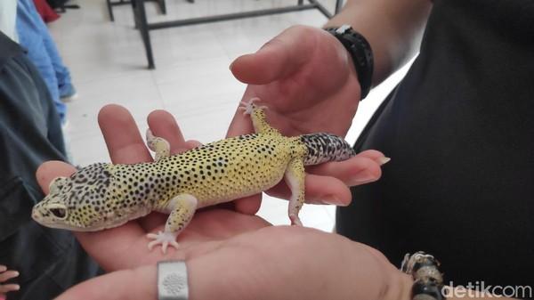 Selain keunikan bentuk dan warnanya, beberapa ekor reptil yang ikut dalam kontes hewan itu pun memiliki harga yang cukup fantastis. Contoh, reptil jenis leaser antilen yang harganya mencapai Rp 80 juta. (Moehammad Bakrie/detikTravel)