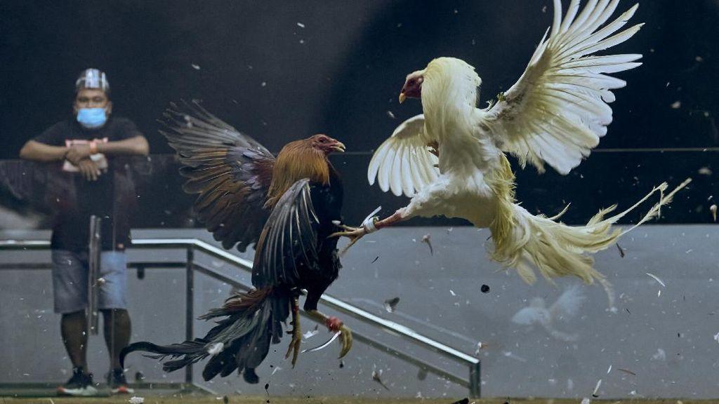 Sabung Ayam Online di Filipina jadi Primadona
