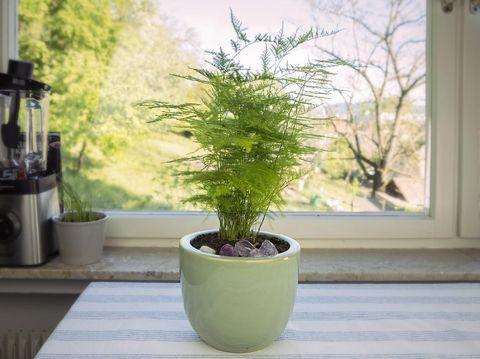 Asparagus fern with fresh green leaves. Houseplant on a table. Asparagus fern indoor.