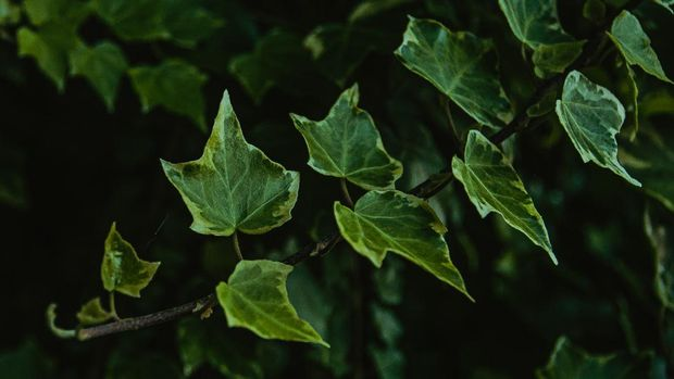 English Ivy (Photo by Ave Calvar Martinez from Pexels Copy)