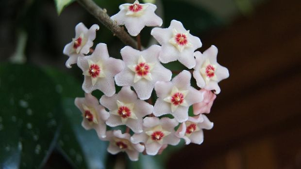 Hoya Carnosa (Image by Sylwia Aptacy from Pixabay)