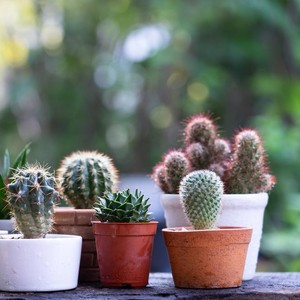 5 Jenis Tanaman Hias Kaktus dan Cara Merawatnya