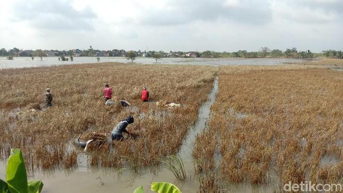 Petani Kudus memanen sisa tanaman padi di lahan yang tergenang banjir.