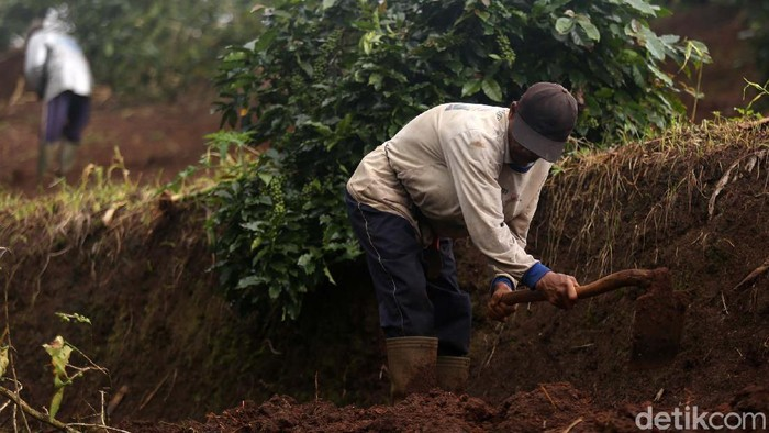 Pekerja tani Gapoktan Regge menyiapkan lahan untuk pertanian di Desa Cukanggenteng, Pasir Jambu, Bandung, Jawa Barat. Mereka akan menanam bawang merah.