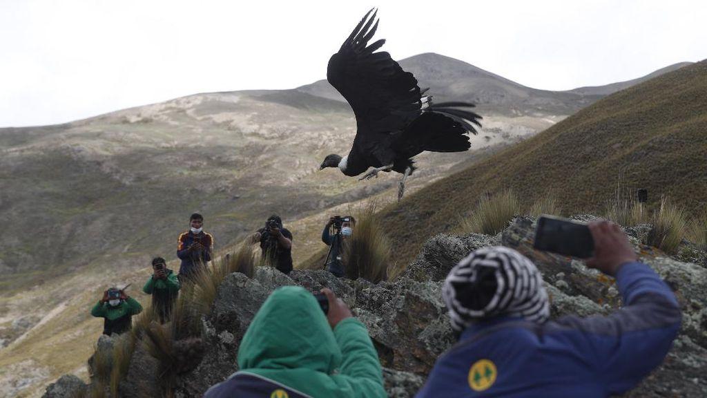 Nyaris Punah, Burung Kondor Andes Dilepasliarkan di Bolivia