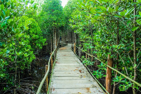 Tinggal di Jakarta yang padat penduduknya dan merupakan kota yang sangat sibuk, kamu masih bisa tetap menikmati keindahan alam hutan mangrove. Salah satunya adalah Taman Wisata Alam Mangrove yang terletak di Pantai Indah Kapuk, Jakarta Utara.