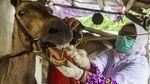 Susuri Kandang, Dinas KPKP Cek Kesehatan Kuda