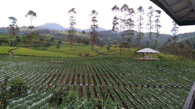 Kebun Strawberry Bandung-BRI