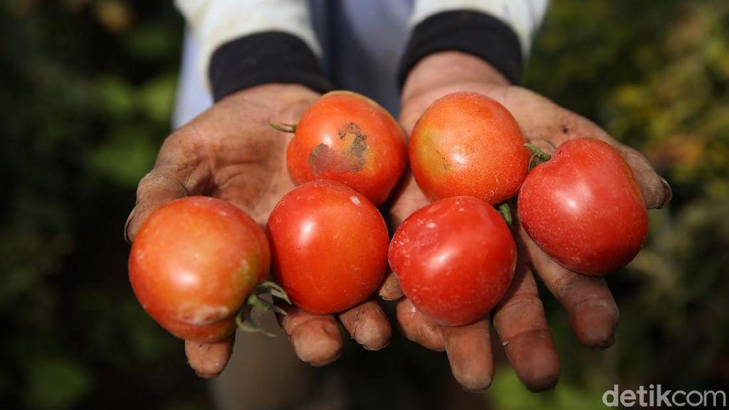 Keseruan Panen Tomat di Pasir Jambu Bandung