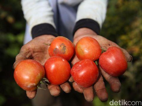 Les agriculteurs de Gapoktan Regge récoltent des tomates dans leur jardin du village de Cukanggenteng, Pasir Jambu, Bandung, Java occidental.  Allez, regarde les photos