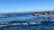 Gerombolan Lumba-lumba Terekam di Perairan California