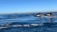 Wow, Gerombolan Lumba-lumba Menyerbu Lepas Pantai California