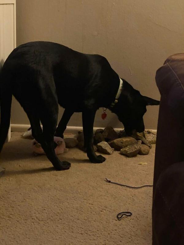 Anjing yang hobi mengumpulkan batu dan membawanya ke dalam rumah.