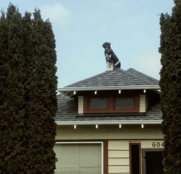 Apa yang dipikirkan anjing ini sampai dia betah berada di ujung atap rumah?