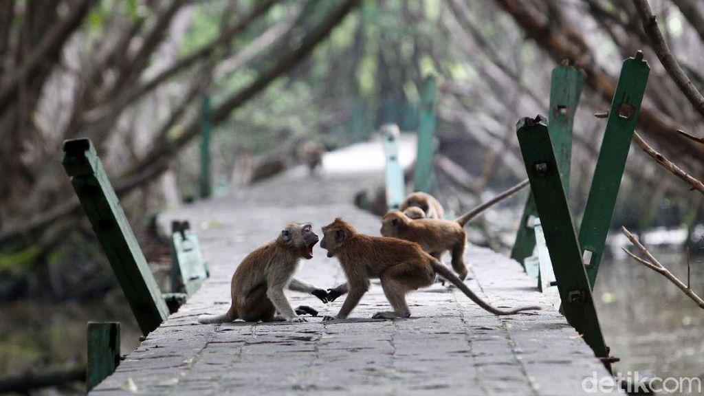 Nasib Monyet Ekor Panjang di Pesisir Jakarta