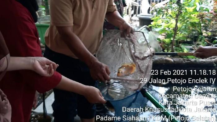 Kegiatan budidaya ikan Nila di Kampung Tangguh Jaya 007 Petojo Selatan Jakpus