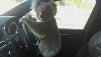Oh Tidak, Seekor Koala Sebabkan Kemacetan Panjang di Australia