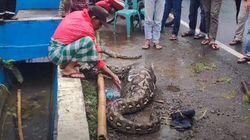 Ngeri! Penampakan Ular Piton 7 Meter Habis Makan Anak Sapi
