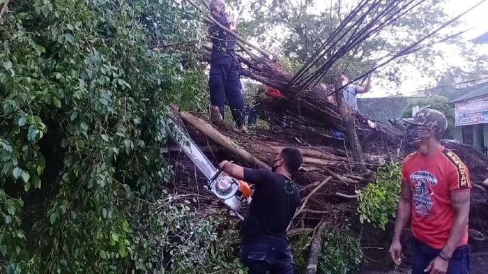 Pohon Beringin tua di Kota Ambon tumbang akibat angin kencang