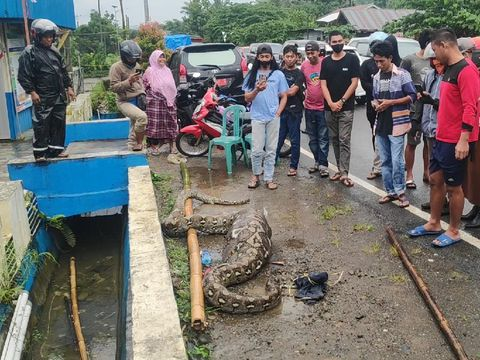 Ular Piton 7 Meter Ditangkap Warga di Maros Sulsel