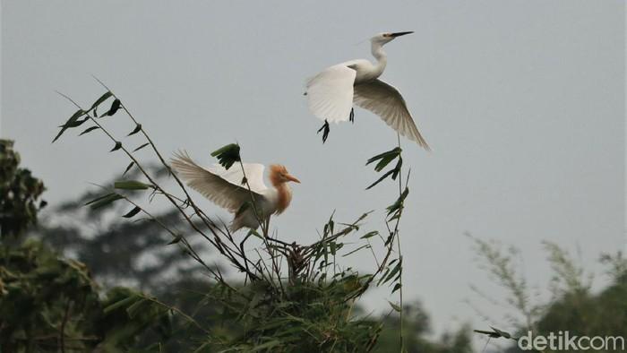 Kawasan Kampung Rancabayawak, Kota Bandung, ini kerap ramai oleh aktivitas burung blekok sawah. Sejumlah burung lain pun juga kerap beraktivitas di kawasan itu.