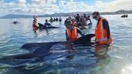 Kabar Baik, 40 Paus Terdampar di Selandia Baru Berhasil Diselamatkan